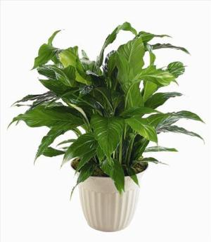 """Peace Lily"" Spathiphyllum Plant by Cremation Funeral Flowers.com"